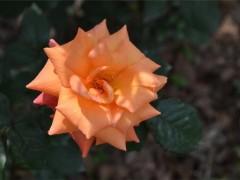 视频:月季生长 不良 缺镁怎么办?