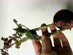 养花技巧,月季花和玫瑰花的扦插方法