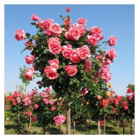 供应各种规格月季树冠幅60cm左右