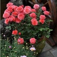 大量供应盆栽月季花