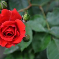 大量供应食用玫瑰