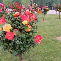 大量批发30-80cm月季树