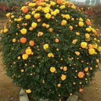 供应各种月季花球