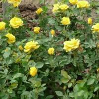 供应两年生盆花月季(大花)